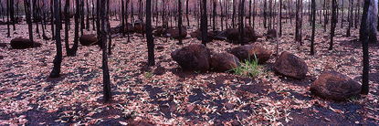 Burnt_Forest.jpg