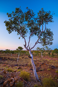 Ghost_Gums_at_Sunset.jpg