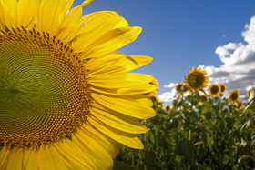 sunfower_closeup.jpg